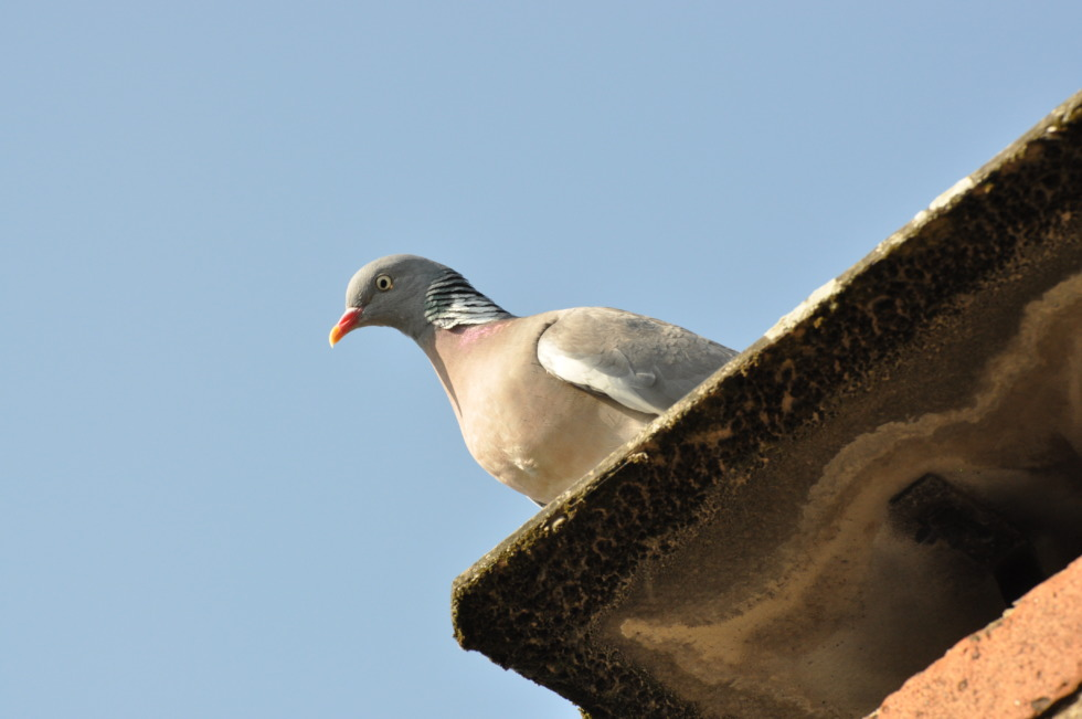 Pigeon on an eaves gutter