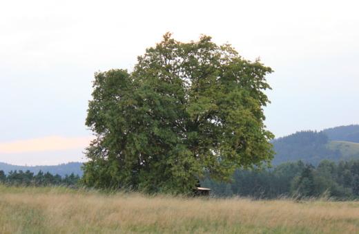 Single majestic treen on a meadow