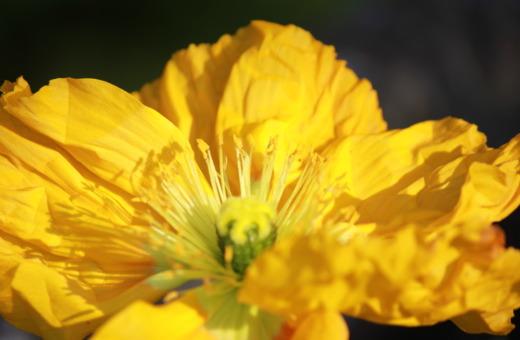 Yellow iceland poppy blossom
