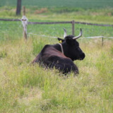 Black bull on a field