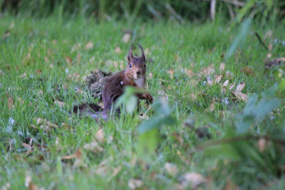 European squirrel