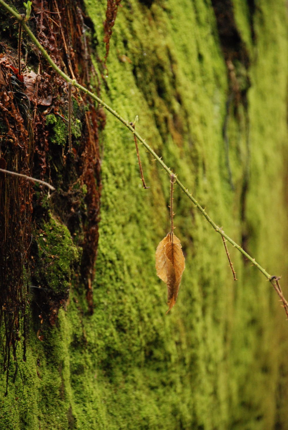 Rock-wall full covered by moss