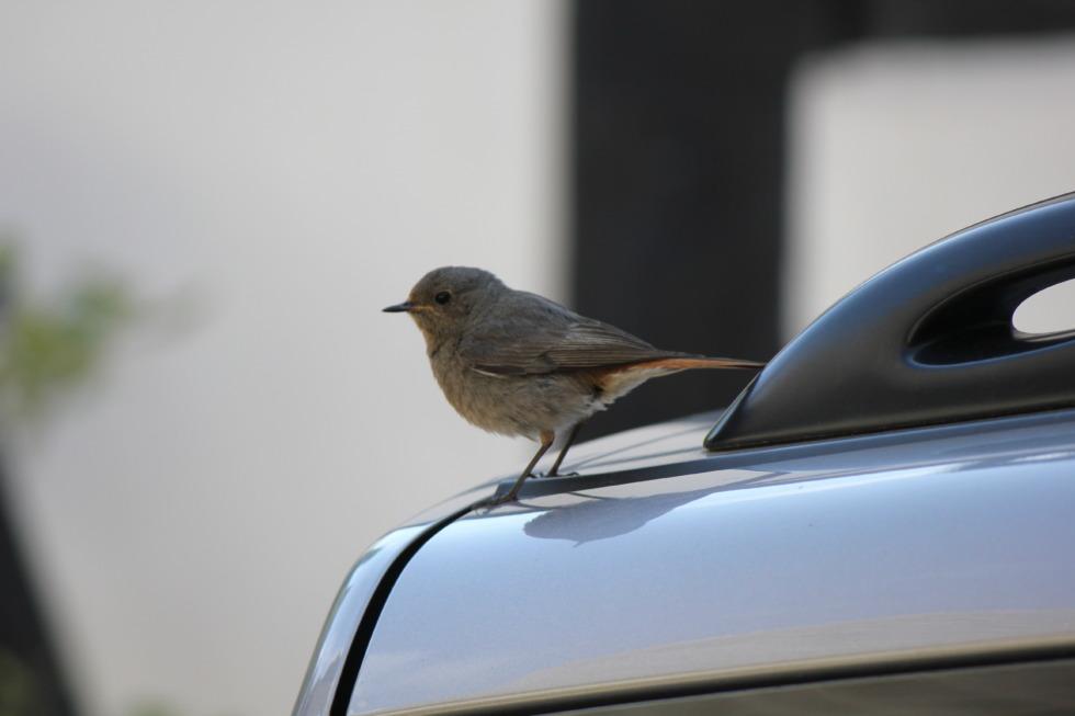 Sparrow sitting on a car