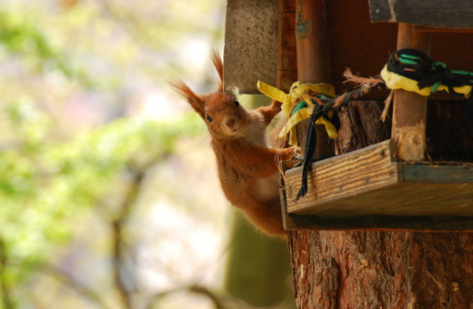 Squirrel loots bird-house