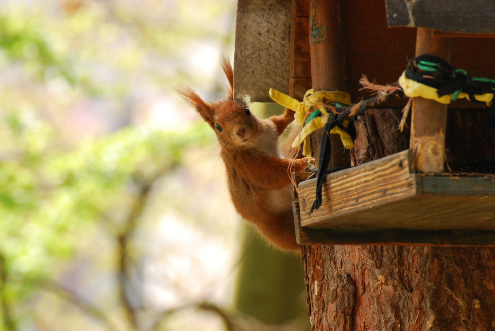 Squirrel loots bird-house