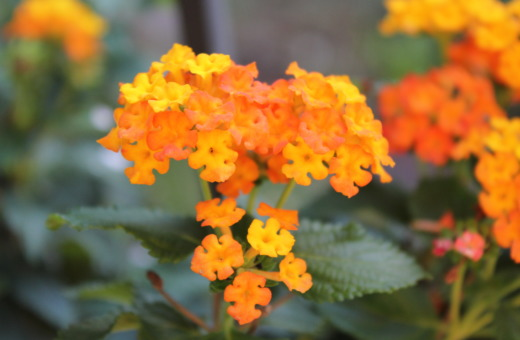 Yellow-orange lantana blossoms