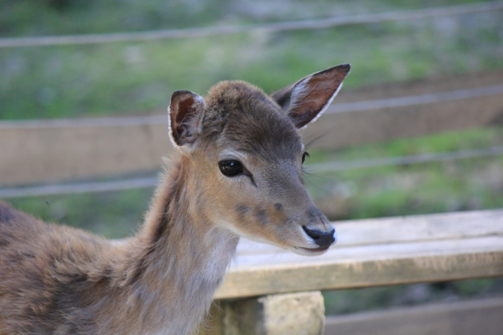 Young deer in Gruga park