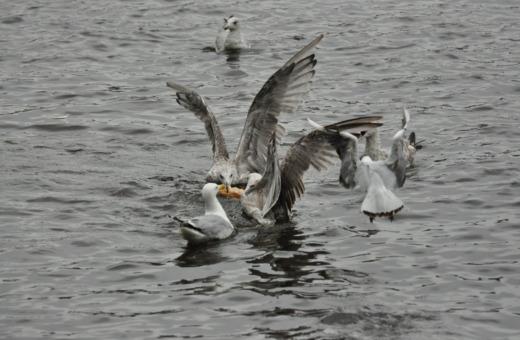 Fighting seagulls in Hamburg
