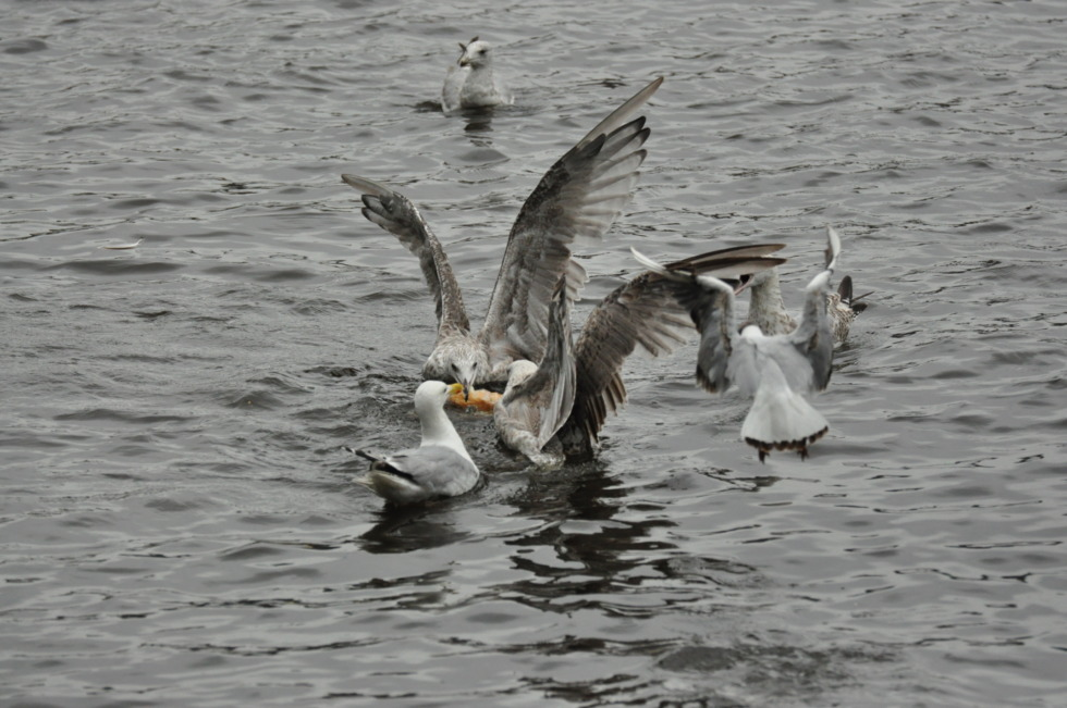 Fighting seagulls in Hamburg