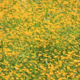 Meadow with lots of yellow flowers