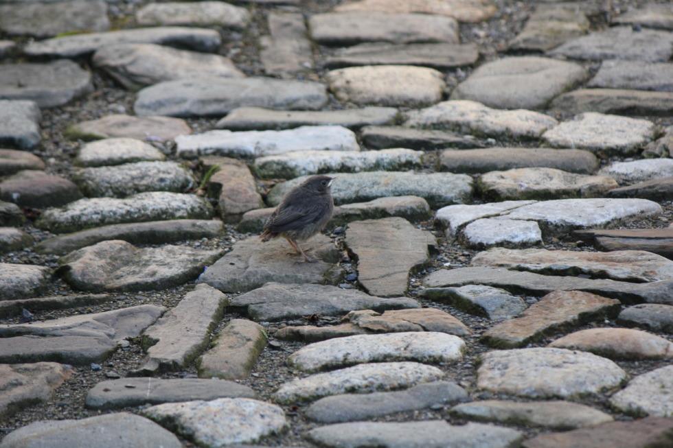 Sparrow on cobblestone