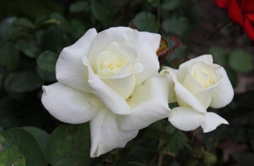 Deep white rose blossom