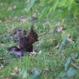 Puce squirrel