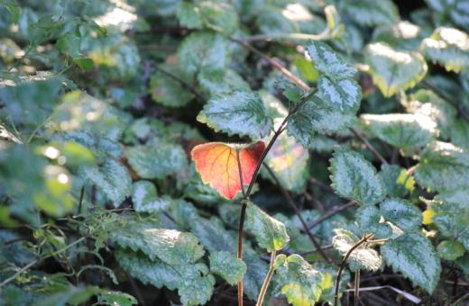 Single red-leaf between green ones