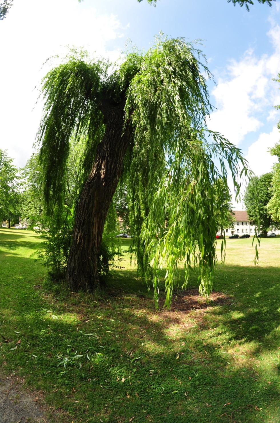 Weeping willow in Goslar's urban park