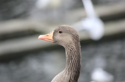 Brown cygnet in Hamburg