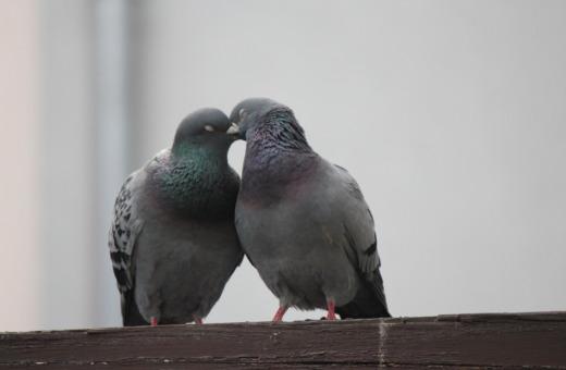 Cuddling pigeons