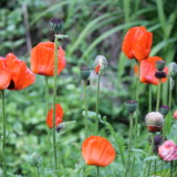 Red poppyseed