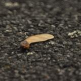 Devil's maple on the street