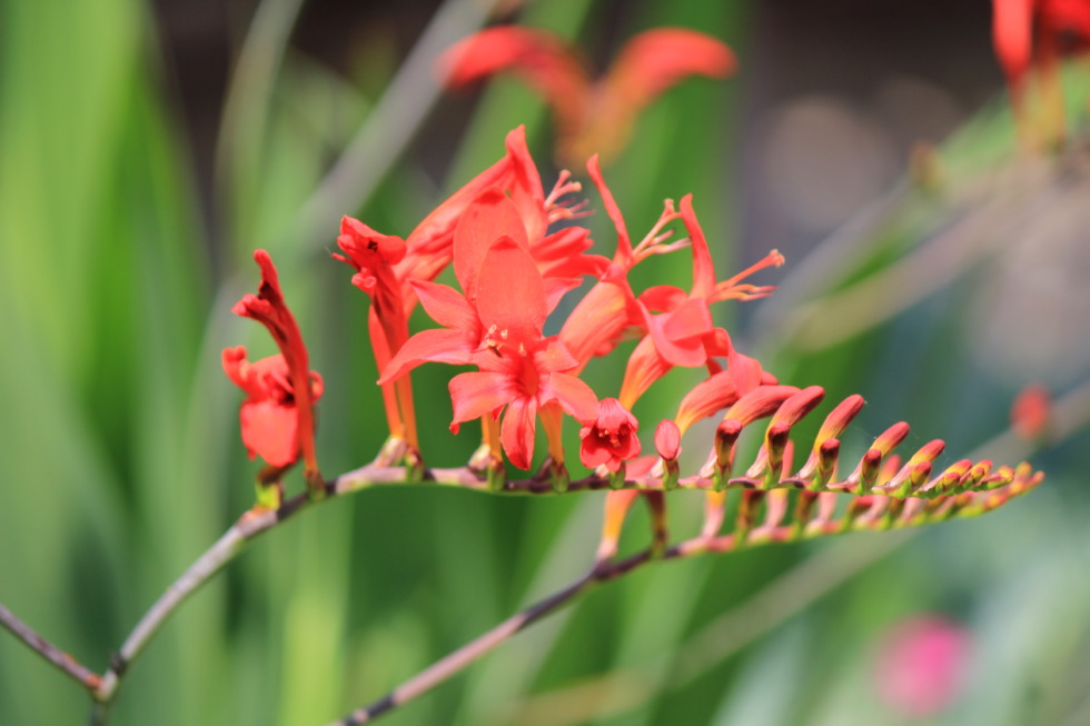 Red Crocosmia Lucifer