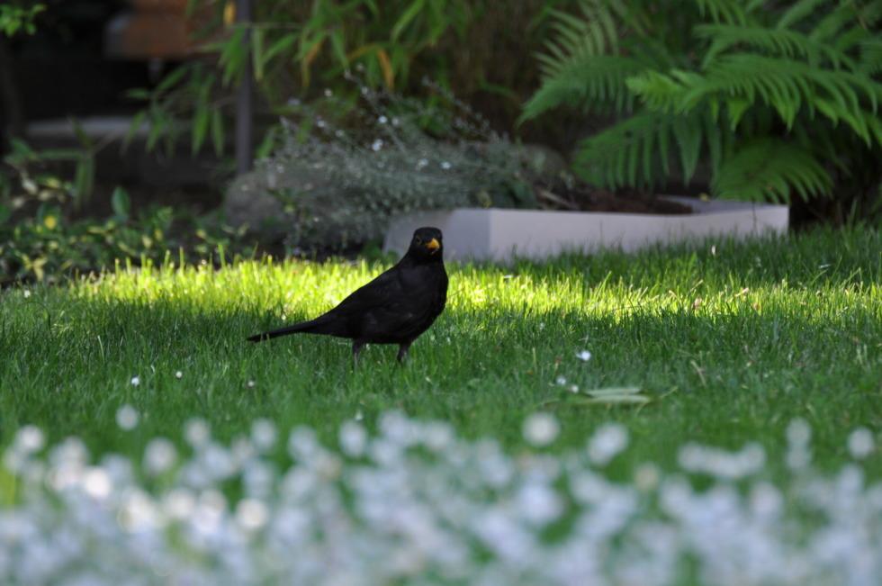 Blackbird in the meadow