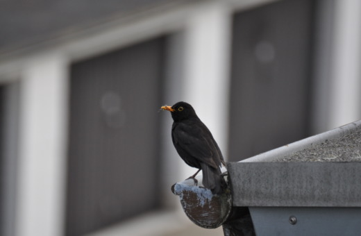 Blackbird on the gutter No.1