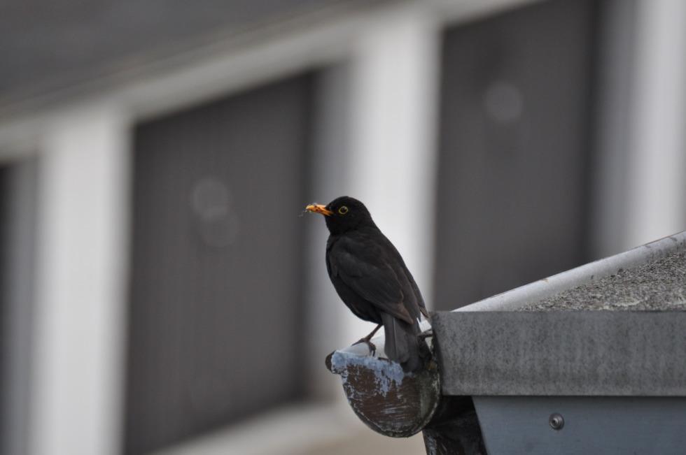 Blackbird on the gutter No.1