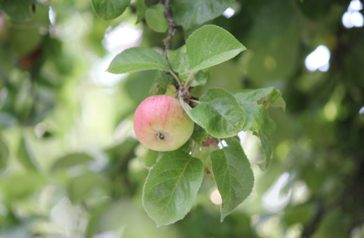Single apple hanging on a tree