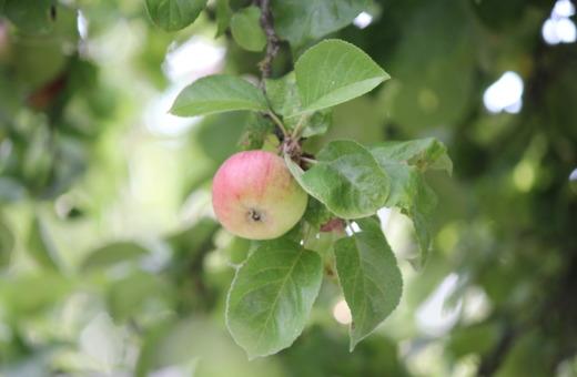 Single apple hanging on a tree