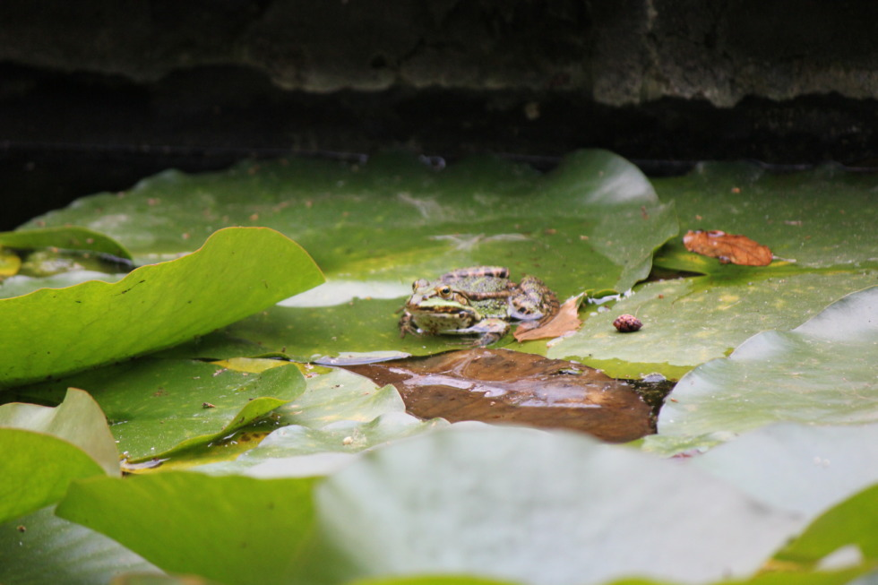 Toad sitting on a water lily pad