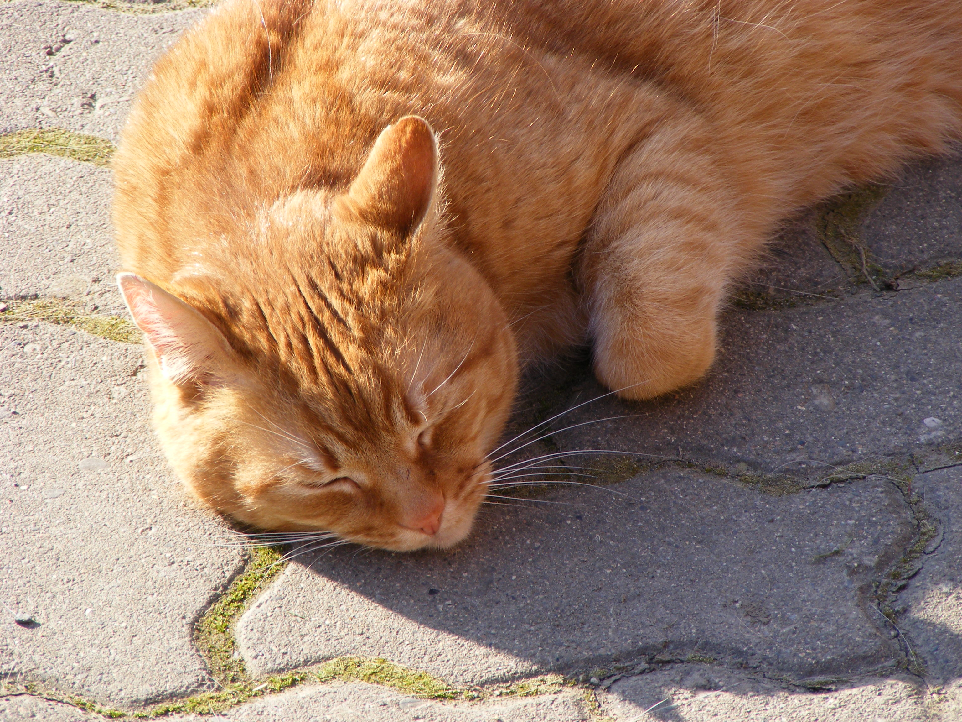 Sleeping Tabby Cat Cc0 Photo