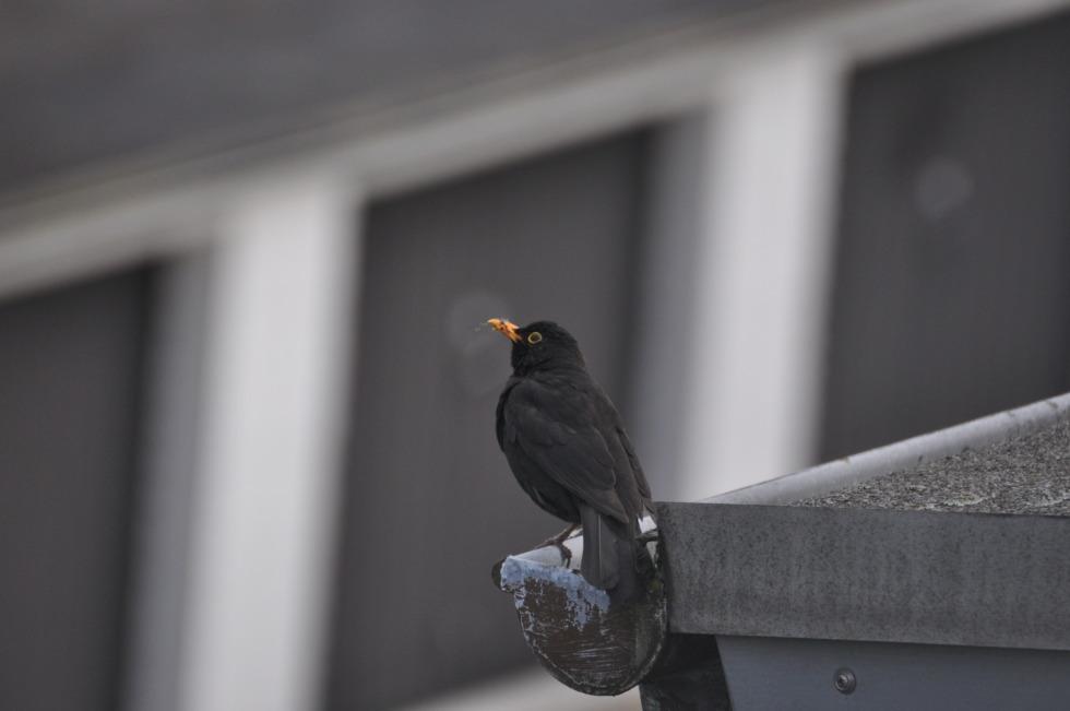 Blackbird on the gutter No.2