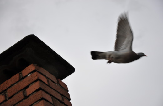 Flying pidgeon