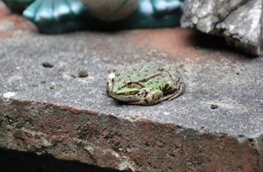 Green toad on a wall