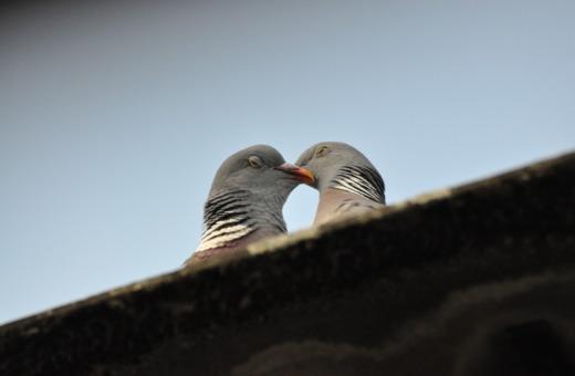 Kissing pidgeons No.1