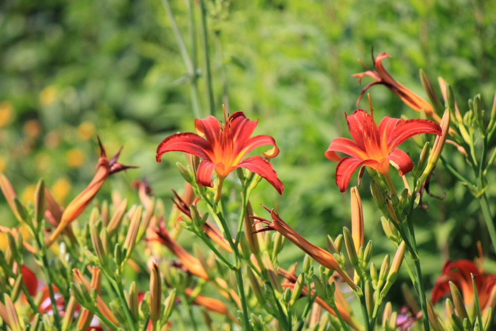 Red daylilies in flowerbed
