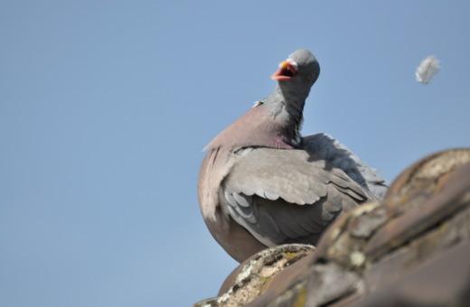 Singing pidgeon