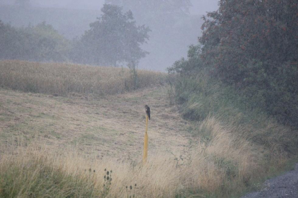 Falcon in heavy rain