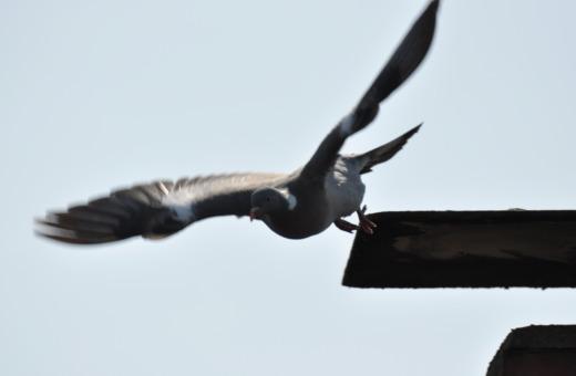 Pidgeon takes off