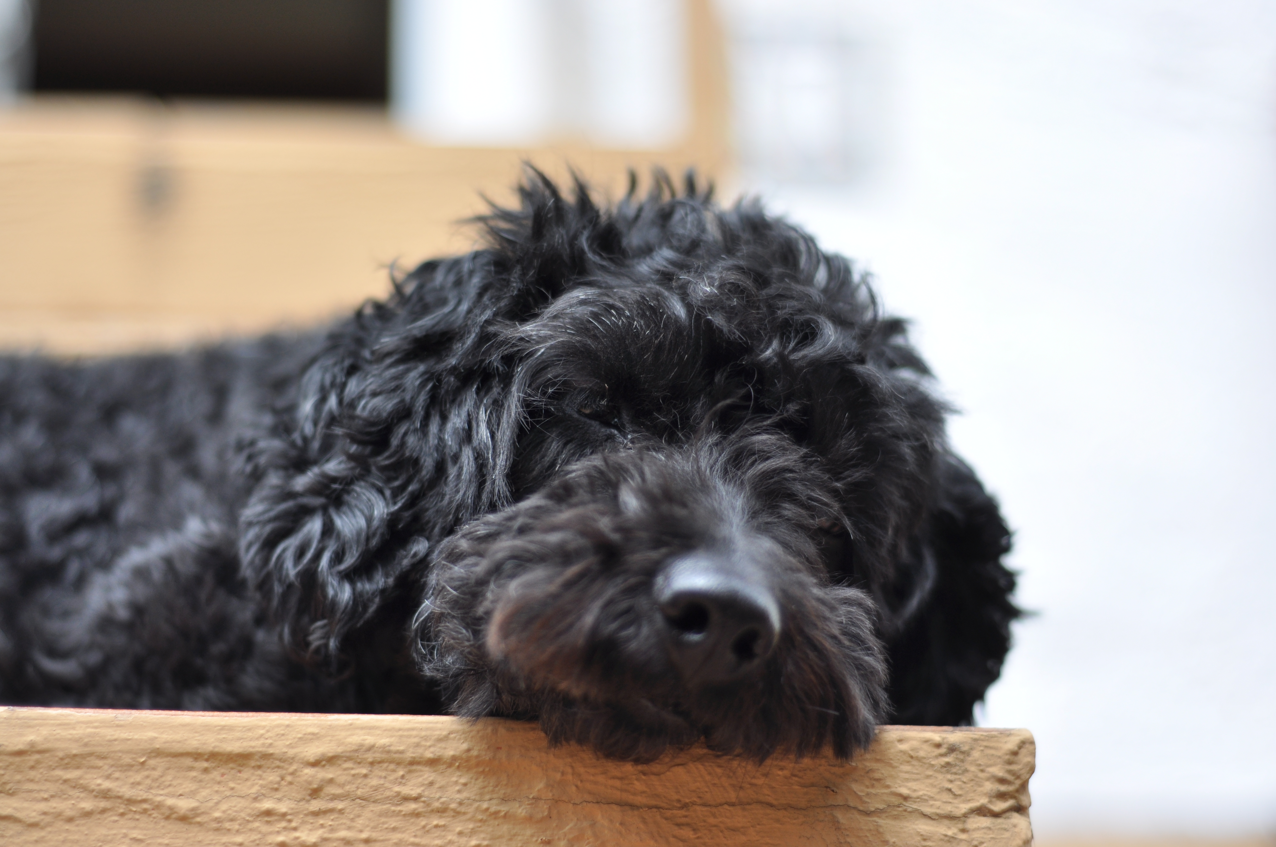 Sleeping Poodle Mix Cc0 Photo