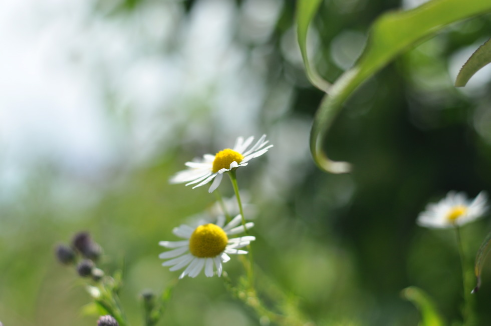 Daisies in front of green grass
