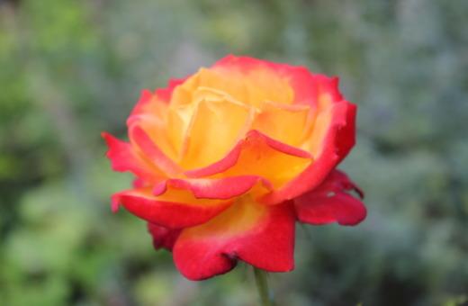 Red-orange rose in detail