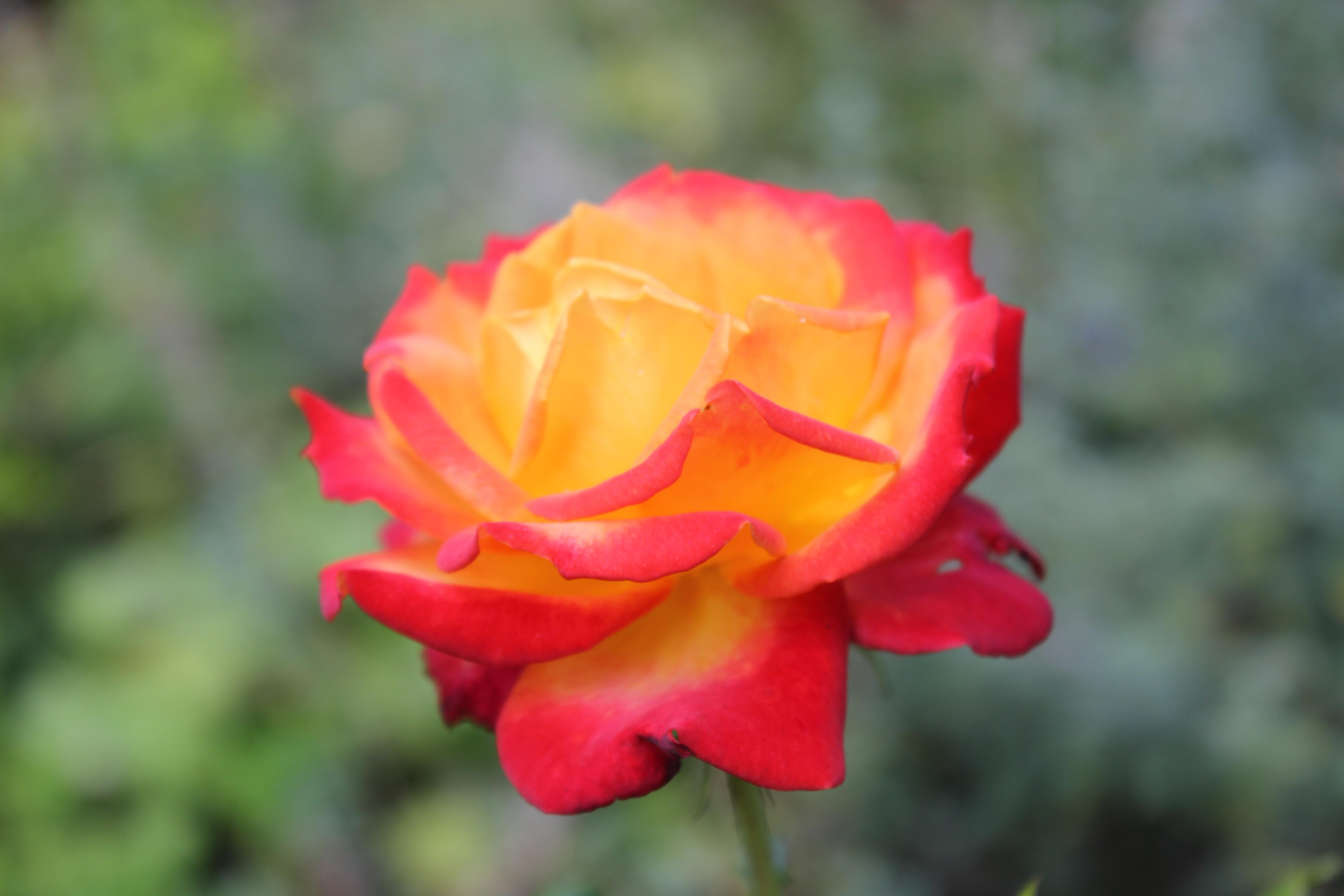 Red Orange Rose In Detail Cc0 Photo