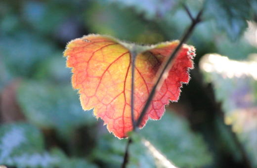 Single red-golden leaf