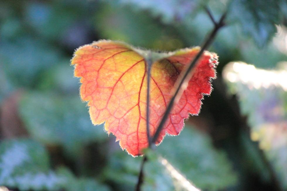 Single red-golden leaf