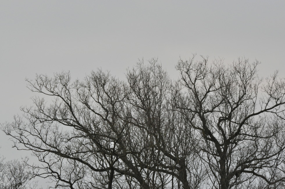 Black branches in front of gray sky