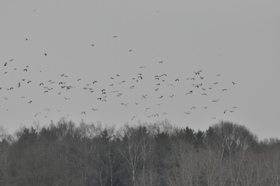 Flock of birds upon the woods