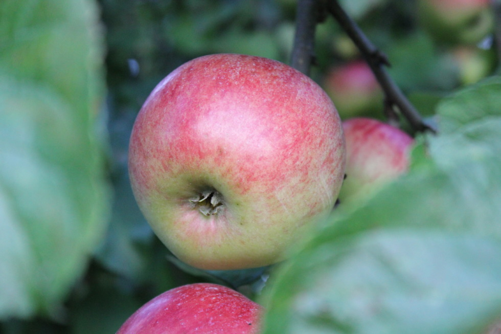 German apples in detail