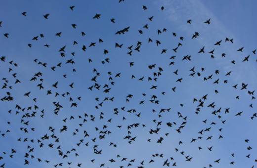 Huge flight of swallows