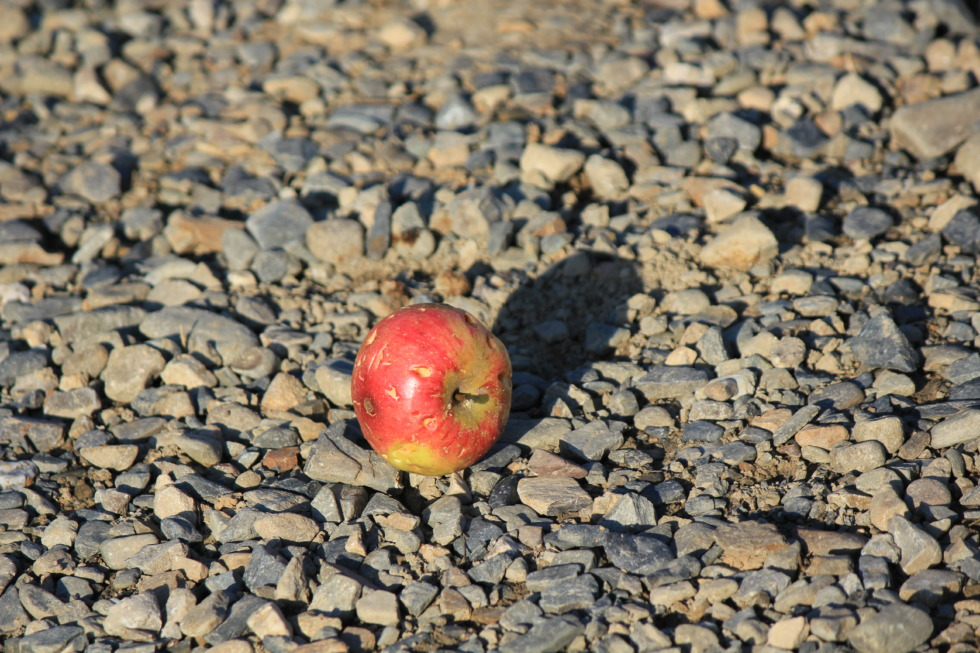 Pecked apple on stones